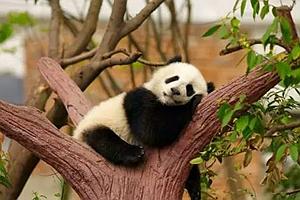 四川省印发通知 严控大熊猫国家公园内人为活动