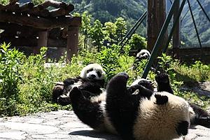"""这里有一个藏在绿水青山间的大熊猫""""幼儿园"""" 了解一下"""