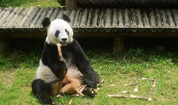 """大熊猫""""瑛美""""告别扬州回家乡四川"""