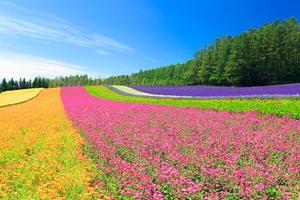 展现乡村振兴新景象 成都金堂县打造鲜花与爱情的诗意之旅
