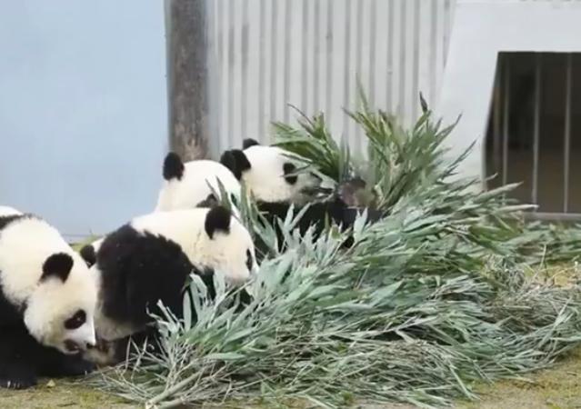 """大熊猫扎堆""""营业"""""""